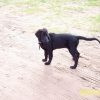 flat-coated-retriever-1024x683-11