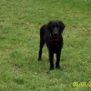 flat-coated-retriever-1024x683-13