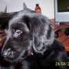 flat-coated-retriever-1024x683-8