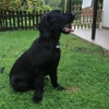 flat-coated-retriever-to-marengo-12