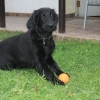 flat-coated-retriever-to-marengo-13
