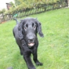 flat-coated-retriever-to-marengo-14