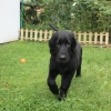 flat-coated-retriever-to-marengo-15