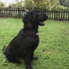 flat-coated-retriever-to-marengo-16