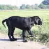 flat-coated-retriever-to-marengo-2