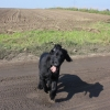 flat-coated-retriever-to-marengo-3