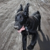 flat-coated-retriever-to-marengo-4