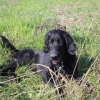 flat-coated-retriever-to-marengo-5
