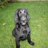 flat-coated-retriever-to-marengo-6