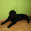 flat-coated-retriever-to-marengo-7