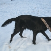flat-coated-retriever-to-swing-2_0