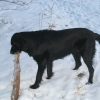 flat-coated-retriever-to-swing-3
