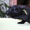 flat-coated-retriever-szczeniaki-hodowla-mildor-feel-the-mistral