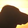 flat-coated-retriever-hodowla-flaty-bindi-20