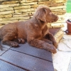 flat-coated-retriever-mino-03