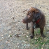 flat-coated-retriever-mino-04
