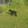 flat-coated-retriever-rodan-10