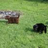 flat-coated-retriever-szczeniaki-szczenieta-flaty-hodowla- (10)