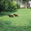 flat-coated-retriever-szczeniaki-szczenieta-flaty-hodowla- (11)
