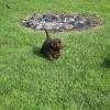 flat-coated-retriever-szczeniaki-szczenieta-flaty-hodowla- (17)