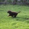 flat-coated-retriever-szczeniaki-szczenieta-flaty-hodowla- (18)
