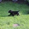flat-coated-retriever-szczeniaki-szczenieta-flaty-hodowla- (19)