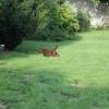 flat-coated-retriever-szczeniaki-szczenieta-flaty-hodowla- (2)
