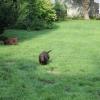flat-coated-retriever-szczeniaki-szczenieta-flaty-hodowla- (3)