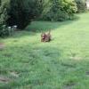 flat-coated-retriever-szczeniaki-szczenieta-flaty-hodowla- (6)