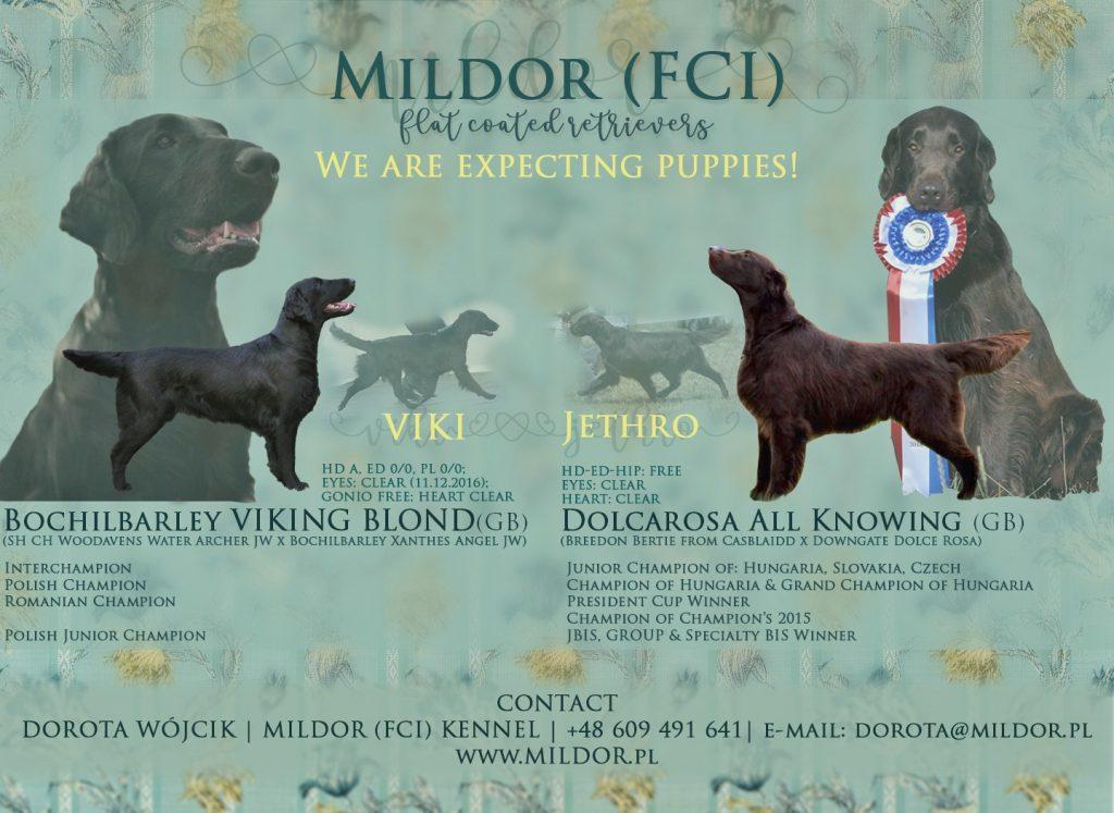 Zapowiedź Miotu Szczeniąt Flat Coated Retriever w Hodowli Mildor